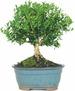 Harland Boxwood Bonsai Tree  $18 at Walmart online deal